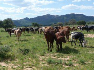 Kühe im Gras